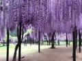 白井大町藤公園 - 藤まつり 2017 - ショート